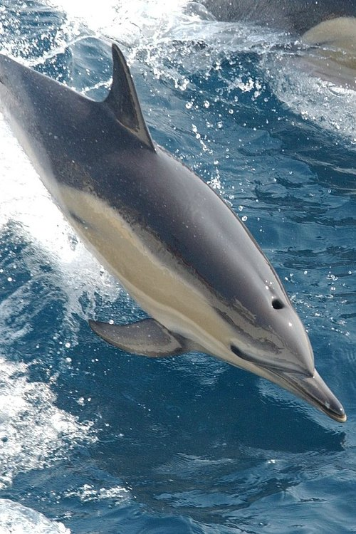 fiji-dolphin-excursion