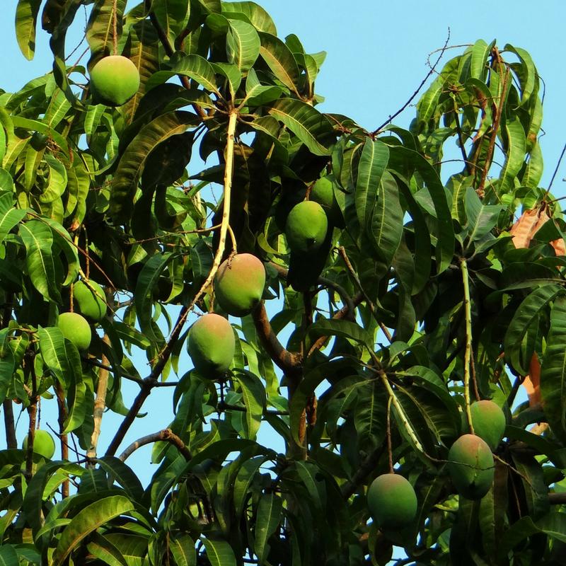 mango-margarita-recipe-mango-season-fiji